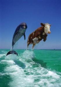 delfin-a-krava